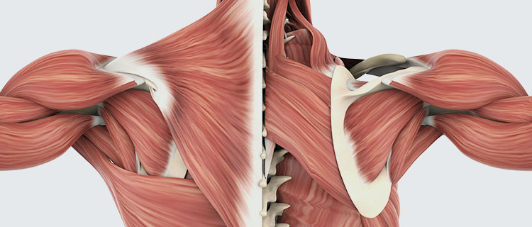 Abbildung Muskulatur